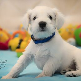 Собаки - Цвергшнауцер белый щенки, 0