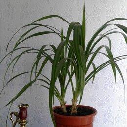 Комнатные растения - Панданус( или винтовая пальма), 0