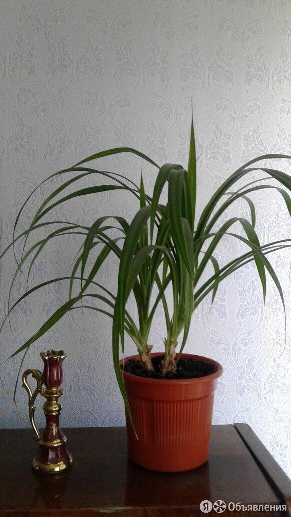 Панданус( или винтовая пальма) по цене 400₽ - Комнатные растения, фото 0