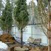 Сосна обыкновенная по цене 15800₽ - Рассада, саженцы, кустарники, деревья, фото 3
