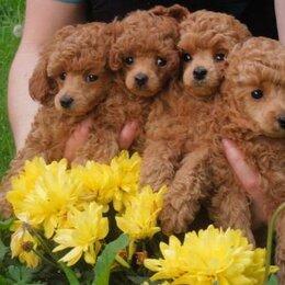 Собаки - той пудель красный, 0