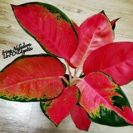Комнатные растения - Аглаонема Red Star (домашняя) , 0