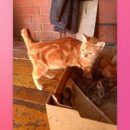 Кошки - Курильский бобтейл котята, 0
