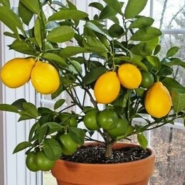 Комнатные растения - Семена карликового лимонного дерева, 0