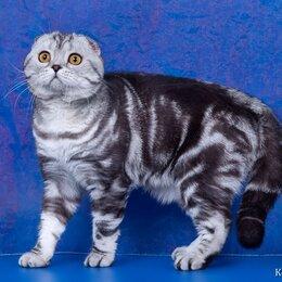 Кошки - Шотландский скоттиш фолд мраморный на продажу , ПРОИЗВОДИТЕЛЬ, 0