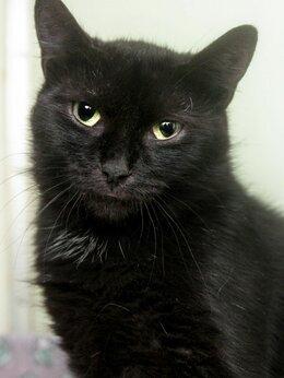 Кошки - Чёрная кошечка Фукуока, спокойная и ласковая, 0