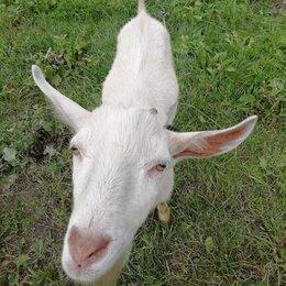 Услуги для животных - Вязка козёл зааненский, 0