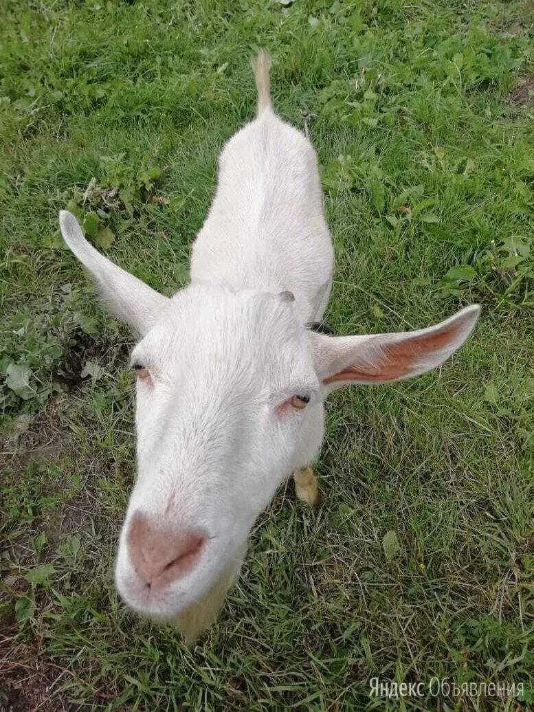 Вязка козёл зааненский по цене 1000₽ - Услуги для животных, фото 0