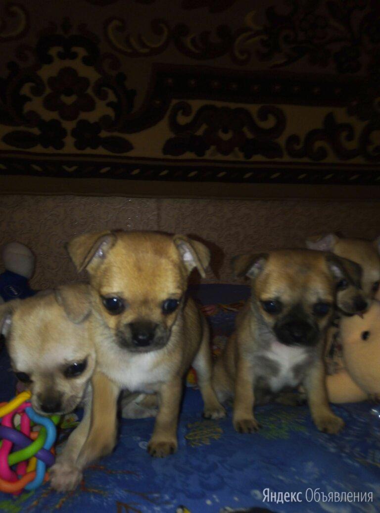 Щенки гладкошерстные по цене 15₽ - Собаки, фото 0