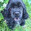 Американский кокер спаниель черный щенок по цене 30000₽ - Собаки, фото 1