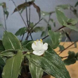 Комнатные растения - Традесканция белая фата, 0