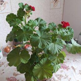 Комнатные растения - продаю  цветок герани, 0