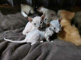 Кошки - Донской сфинкс котята, 0