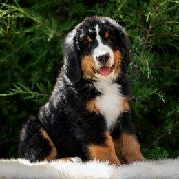 Собаки - БЕРНОМИШКИ  от ЧЕМПИОНА России ИЩУТ своих  пап и мам, 0