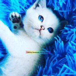 Кошки - Британская шиншилла котенок голубоглазый, 0