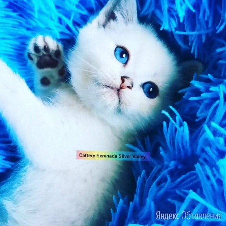 Британская шиншилла котенок голубоглазый по цене 37000₽ - Кошки, фото 0