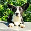 Щенки вельш корги кардиган по цене 90000₽ - Собаки, фото 3