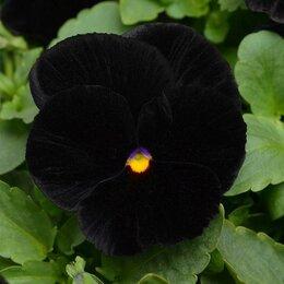 Семена - PanAmerican Seed Семена цветов Виола виттрока Хеллоуин 1000 шт, 0