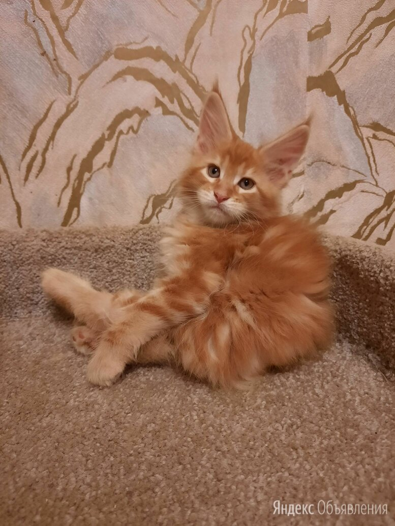 Мейн кун из питомника по цене 35000₽ - Кошки, фото 0