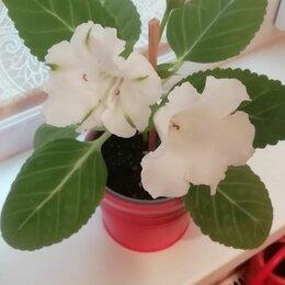 Комнатные растения - Глоксиния multibells white, 0