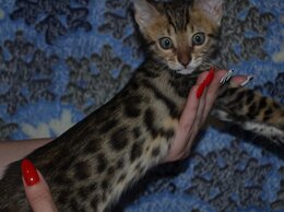 Кошки - Бенгальская , 0