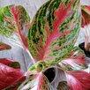 Аглаонема Престиж по цене 1300₽ - Комнатные растения, фото 1
