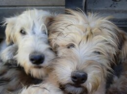 Собаки - Пшеничного терьера щенки, 0