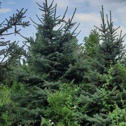 Рассада, саженцы, кустарники, деревья - Ель голубая Туи Липы Клён, 0
