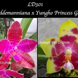 Комнатные растения - Орхидея, Фаленопсис LD301 P. lueddemanniana x Yungho Princess Gelb, 0