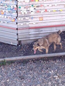 Животные - Найдена собака алабай (Пушкино), 0