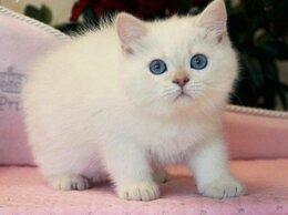 Кошки - Клубные шикарные белоснежные котята шиншиллы , 0