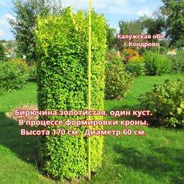 Рассада, саженцы, кустарники, деревья - Бирючина золотистая, 0