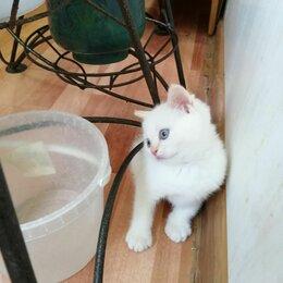 Кошки - Шотландские котята колор пойнт , 0
