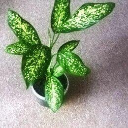 Комнатные растения - Растение диффенбахия пятнистая, 0