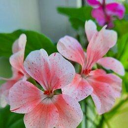 Комнатные растения - Пеларгонии по одной цене, 0
