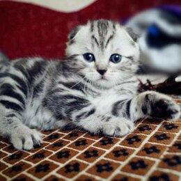 Кошки - Скотишфолд шотландец вислоухий мраморный, 0