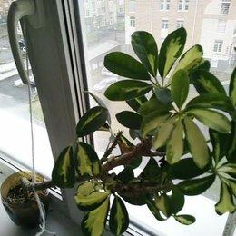 Комнатные растения - Шеффлера, 0
