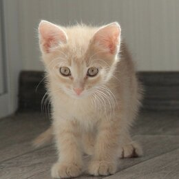 Кошки - Котёнок Персик, 0