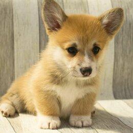Собаки - Корги, 0