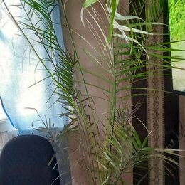 Комнатные растения - Финиковая пальма , 0