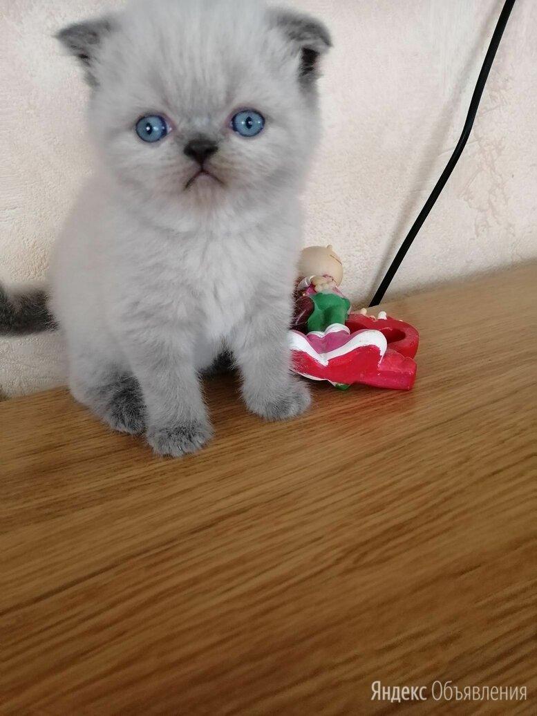 Шотландские котята по цене 7500₽ - Кошки, фото 0
