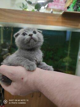 Кошки - Чистокровные шотландские и британские котята, 0
