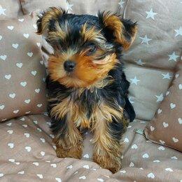 Собаки - Йоркширский терьер мальчик, 0