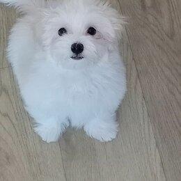 Собаки - Мальтийская болонка взрослая собака, 0