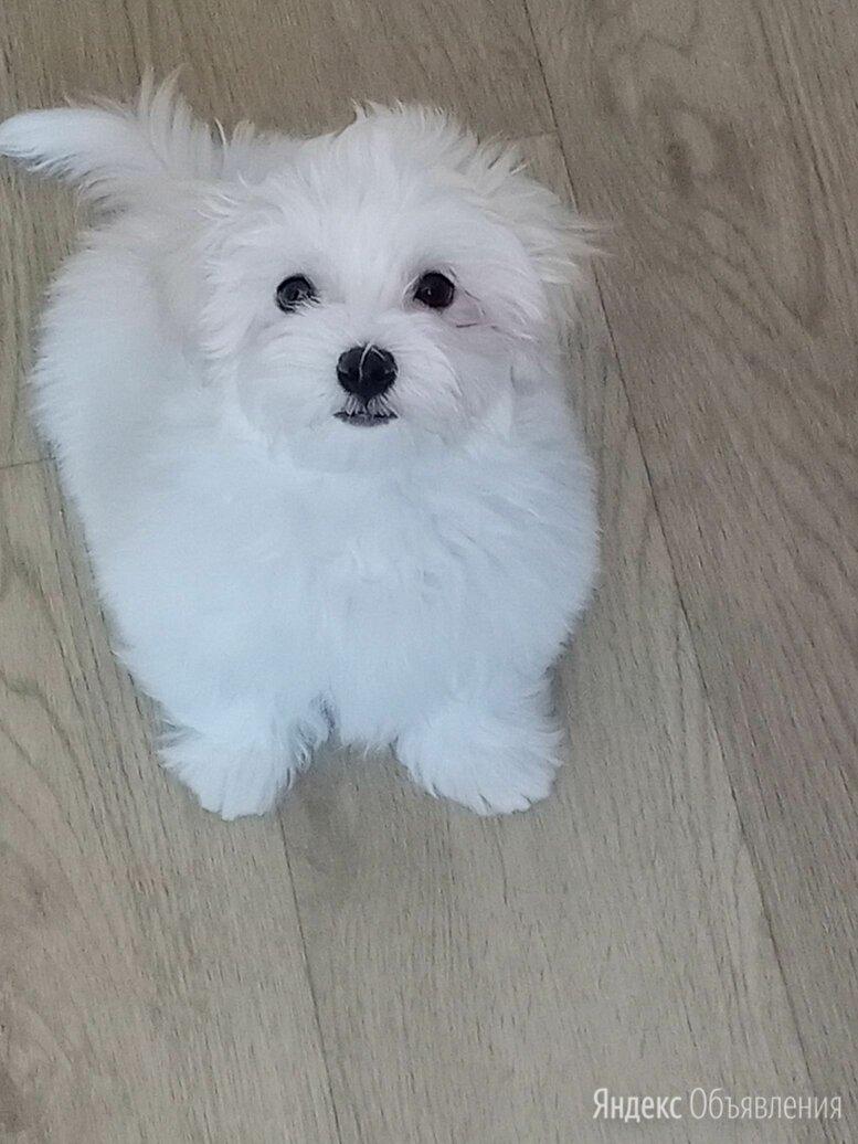 Мальтийская болонка взрослая собака по цене 40000₽ - Собаки, фото 0