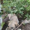 Отдам щенков в добрые руки по цене даром - Собаки, фото 5