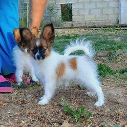 Собаки - Папильон щенок, мальчик Папийон, 0
