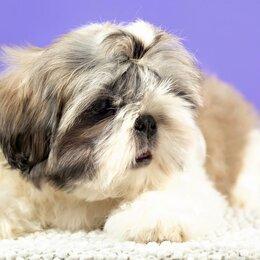 Собаки - Ши тцу на белом фоне, 0