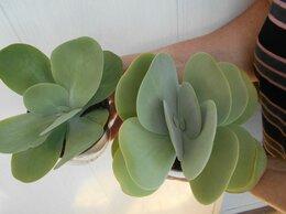 Комнатные растения - красула, 0