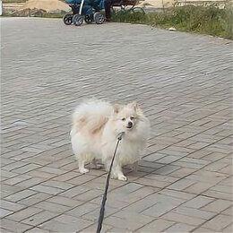 Собаки - Взрослая девочка шпица, 0